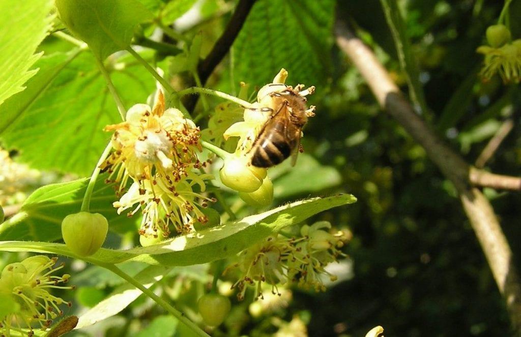 Honingbij op de linde